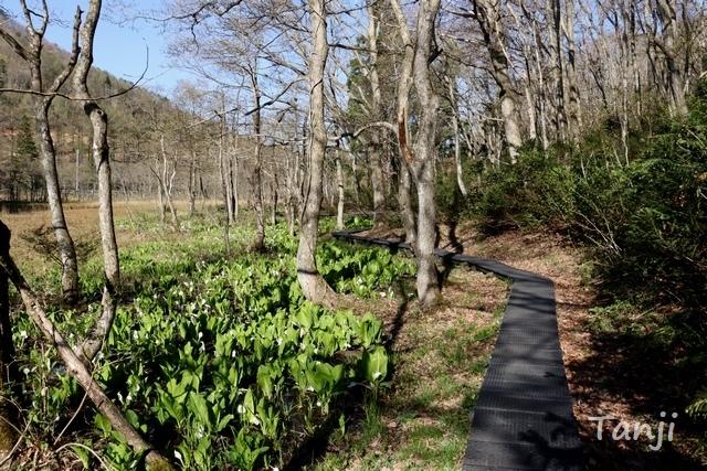 02 96 ミズバショウ、球の木原水芭蕉群生地、宮城県七ヶ宿町玉の木原湿原、画像.jpg