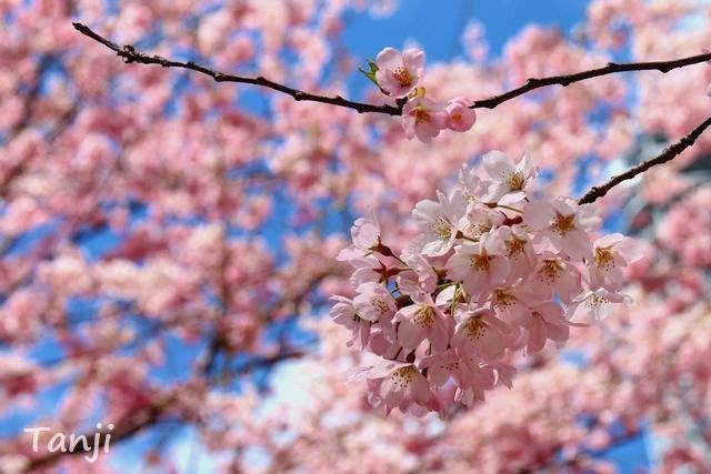 03 98 桜、錦町公園、宮城県仙台市、画像、Tanjk、sakura、sendai.jpg