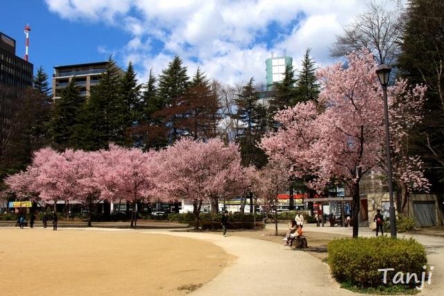 04 98 桜、錦町公園、宮城県仙台市、画像、Tanjk、sakura、sendai.jpg