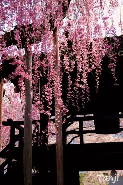 05 98 桜、松音寺、宮城県仙台市若林区新寺、画像、Tanji.jpg