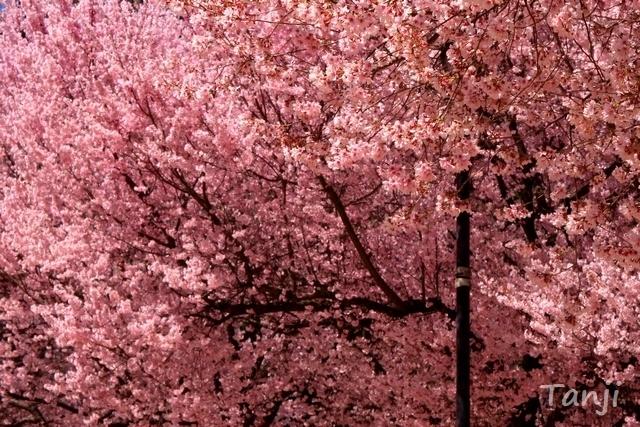 05 98 桜、錦町公園、宮城県仙台市、画像、Tanjk、sakura、sendai.jpg