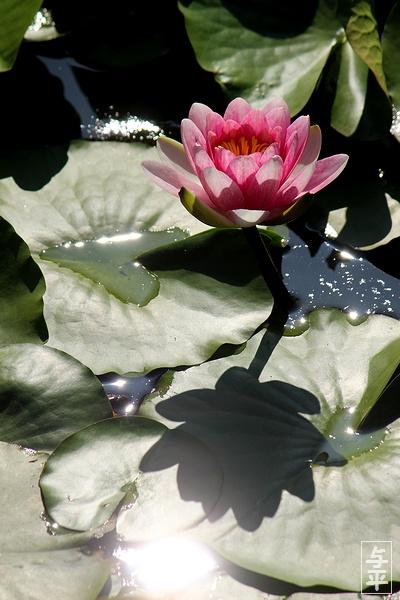 スイレン・カキツバタ・昭和万葉の森・宮城県・大衡村・画像・仙台人が仙台観光をしてるブログ・与平