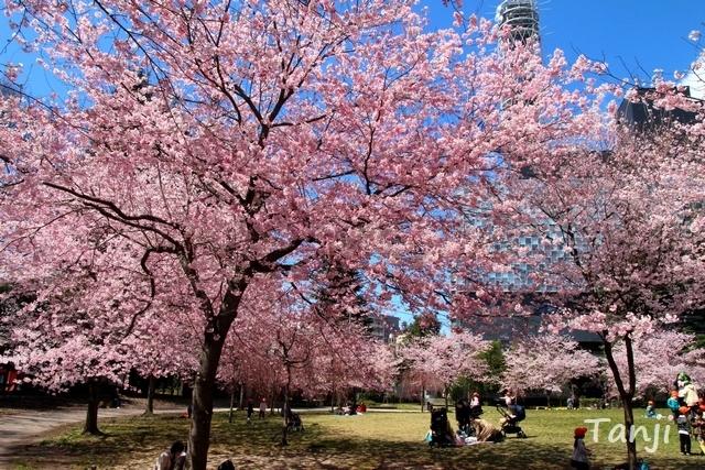 06 98 桜、錦町公園、宮城県仙台市、画像、Tanjk、sakura、sendai.jpg