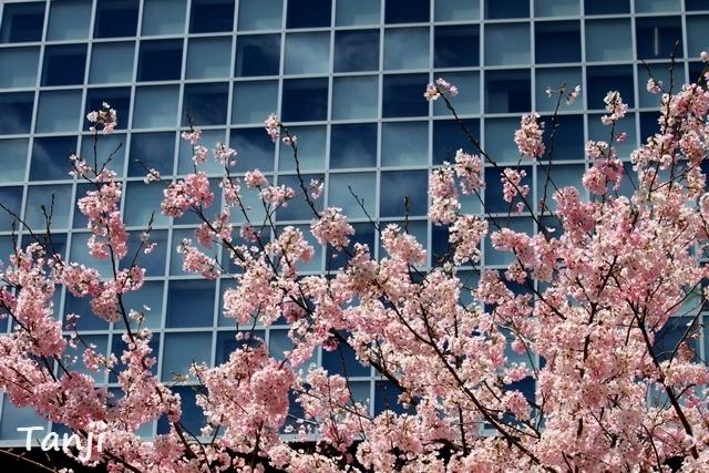 07 98 桜、錦町公園、宮城県仙台市、画像、Tanjk、sakura、sendai.jpg