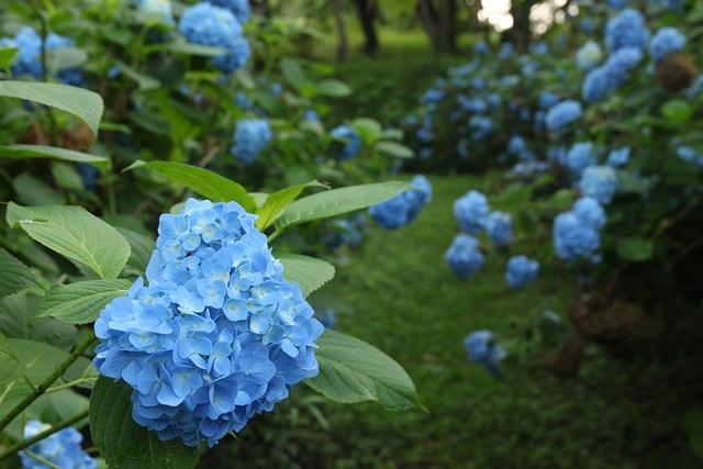 臥牛館公園のアジサイ・宮城県栗原市金成沢辺・画像・与平仙台人が仙台観光してるブログ
