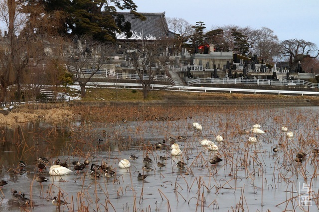 称名寺、池、ハクチョウ、亘理町、宮城県、画像、仙台人が仙台観光をしてるブログ、与平