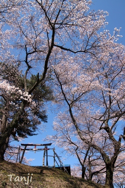 02 96 画像、桜、山津見神社、宮城県丸森町、sakura、Tanji.jpg