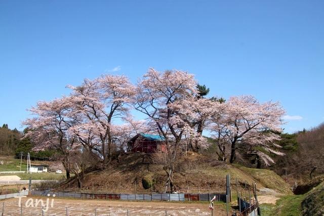 05 96 画像、桜、山津見神社、宮城県丸森町、sakura、Tanji.jpg